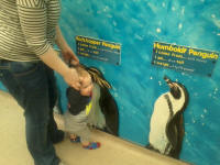 Alfie measuring up against the world's penguins at Colchester Zoo.