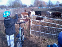 Mason counting cattle near Kingston Fields in Woodbridge.